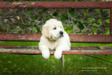 English Golden Retriever puppy 3