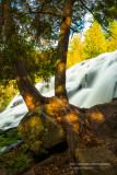 Tree at Bond Falls