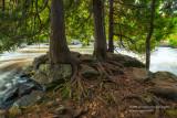 Trees at upper cascades of Bond Falls