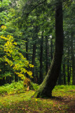 Old growth forest 2
