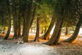 Cedar trees in sunset light
