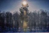 Pine tree with lens flare