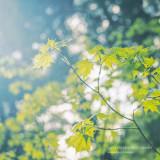 Maple leaves in sunlight
