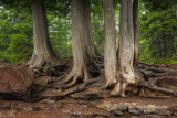 Cedar trees and roots