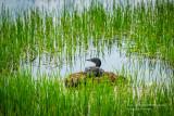 Nesting Loon