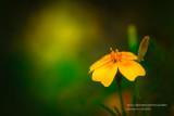 Marigold, Tangerine Gem