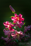 Fragrant Pink Lilies