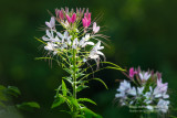 Pink & White Cleome