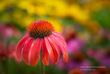 Orange Echinacea (Cone Flower)