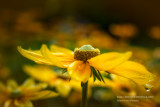 Rudbeckia, Irish Eyes