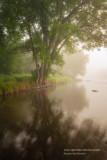 Maple Tree, Foggy morning at the Chippewa river
