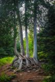 A family of Cedar Trees