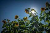 Very tall Sunflowers