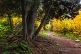 Cedar trees along the trail