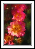 Sunrise Roses....
