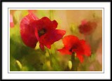 Poppies in the garden....