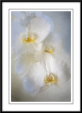 Orchids in white...
