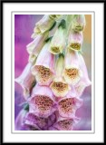 Foxgloves...
