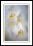 Orchids in white....