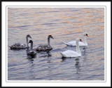 A visiting swan family....