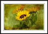 sunflowers....