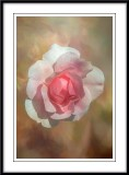 Bonica rose portrait...