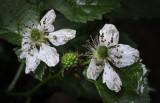 Wet Blackberry Blossoms