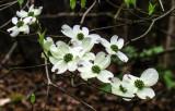 Dogwood Blossoms