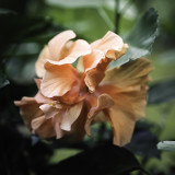 Double Bloom