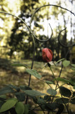 Last Rose?