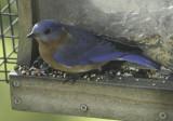 First Bluebird sighting of 2019