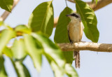 Brow Shrike