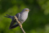 Common Cuckoo Bulgaria 2017