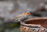 Orange-ckeeked Waxbill
