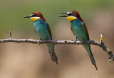 European Bee-eater Bulgaria 2017