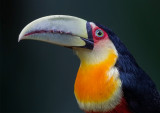 Green -billed Toucan
