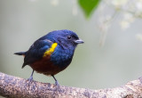Chestnut-bellied Euphonia (m)