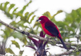 Brazilian Tanager