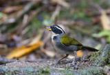 Half-collared Sparrow (f)