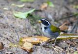Half-collared Sparrow (M)