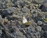 Grönfläckig vitfjäril(Pontia daplidice)
