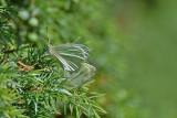 Rovfjäril  (Pieris rapae)