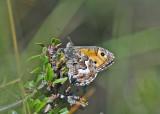 Sandgräsfjäril (Hipparchia semele)