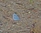 Tosteblåvinge (Celastrina argiolus)