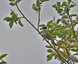 Eurasian Penduline Tit
