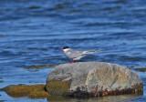 Common birds in Sweden