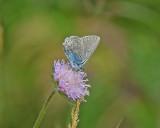 Violett blåvinge