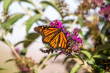 Monarch, Full Span