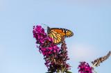 Monarch Atop Butterfly Bush