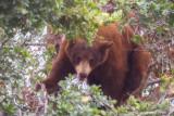 Black Bear Cub (Red)